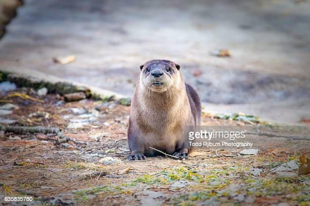 posing - river otter stock pictures, royalty-free photos & images