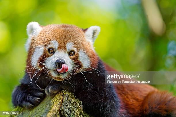 Posing red panda