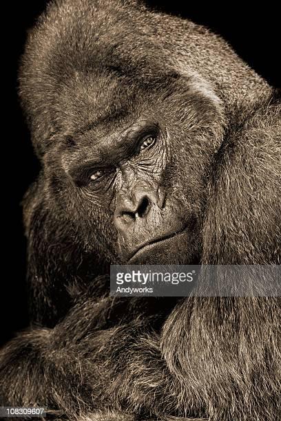 posando gorila lomo plateado - gorila lomo plateado fotografías e imágenes de stock