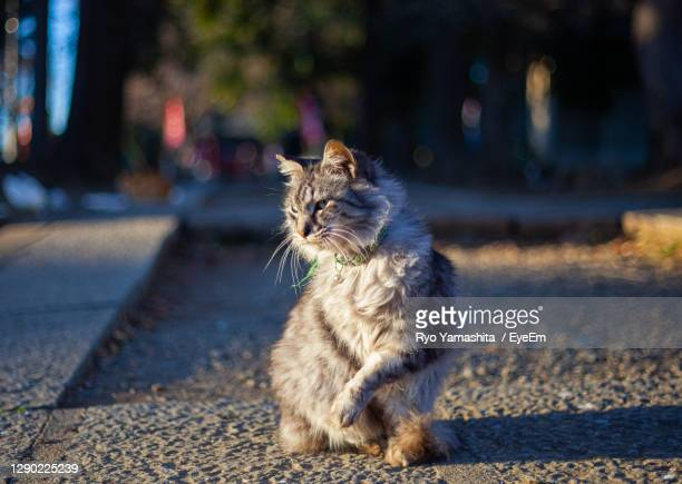 posing stray cat in japan - kawagoe stock pictures, royalty-free photos & images