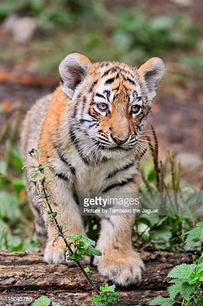 posing tiger cub - tiger cub stock photos and pictures