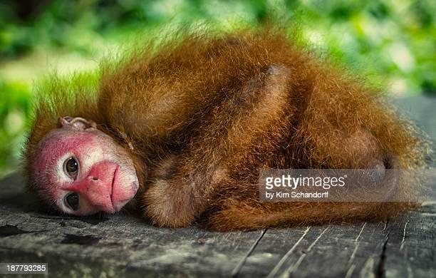 Posing Uakari Monkey