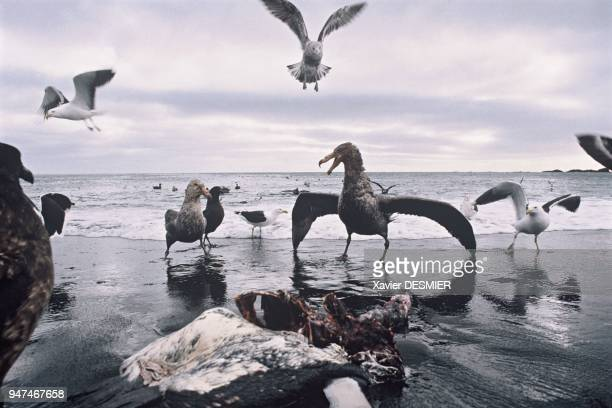 Possession Island Fighting for food the giantpetrel dominates With his tail fanned out wings outstretched and eyes constantly on the lookout he is an...