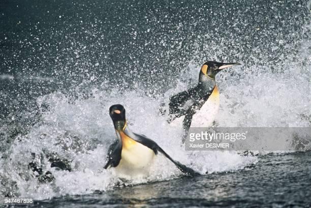 Possession Island King penguins returning from their daily bath Ile de la Possession Le retour du bain quotidien pour les Manchots royaux