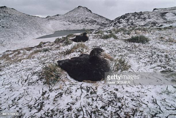 Possession Island With his 2m wingspan the giant petrel is a large gravedigger He is at ease in stormy conditions Here two giant petrels at their...