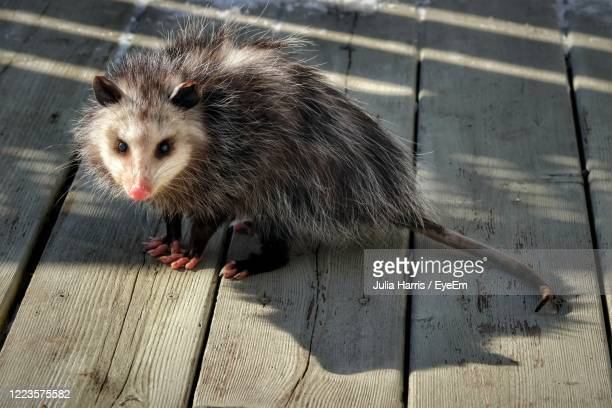 possum in the backyard - possum stock pictures, royalty-free photos & images