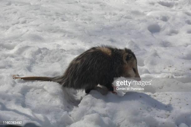 possum in the snow - opossum americano foto e immagini stock