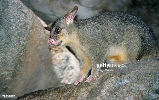 a possum on rocks - opossum stock pictures, royalty-free photos & images