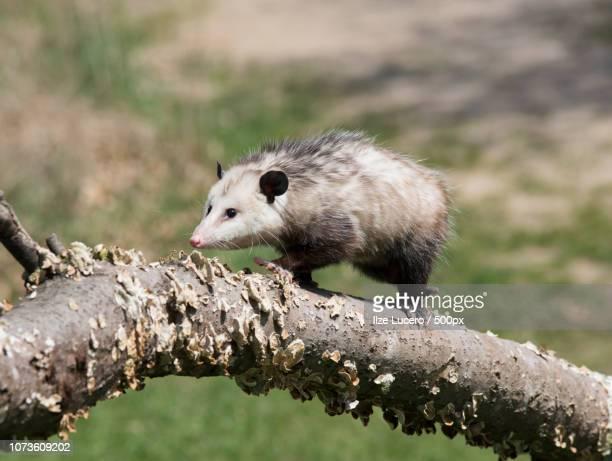 possum - opossum americano foto e immagini stock