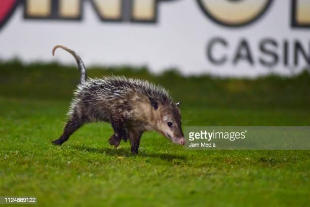 Possum runs into the field during the 4th round match between Veracruz and Puebla as part of the Torneo Clausura 2019 Liga MX at Luis 'Pirata' de la...
