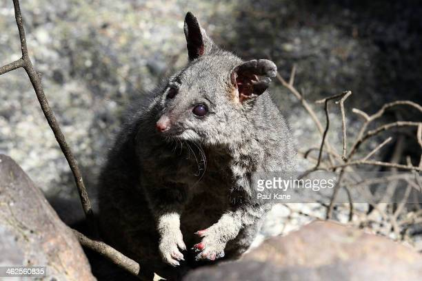 A possum that survived the bushfire is pictured in Fennell Court Stoneville on January 14 2014 in Perth Australia Emergency services today escorted...