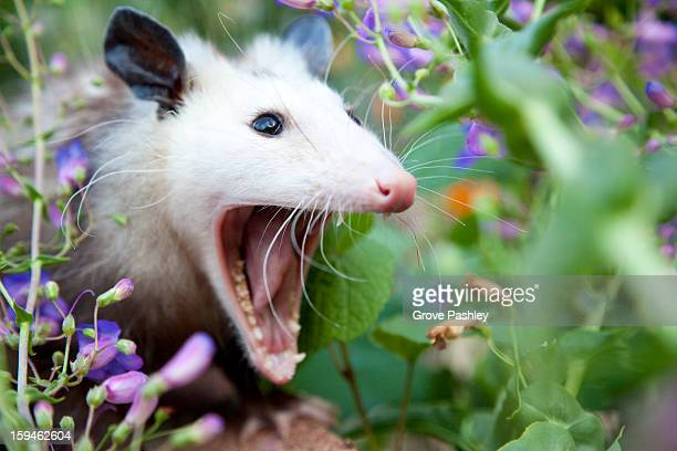 Possum with mouth wide open