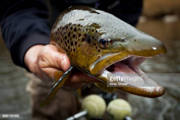 post spawn virginia brown trout - largemouth bass stock pictures, royalty-free photos & images