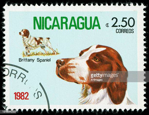 postage stamp from nicaragua - brittany spaniel stock pictures, royalty-free photos & images