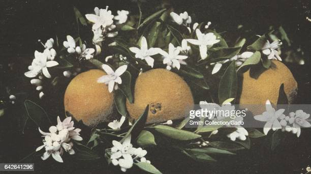 Postcard of a closeup of oranges and their blossoms California 1905 From the New York Public Library