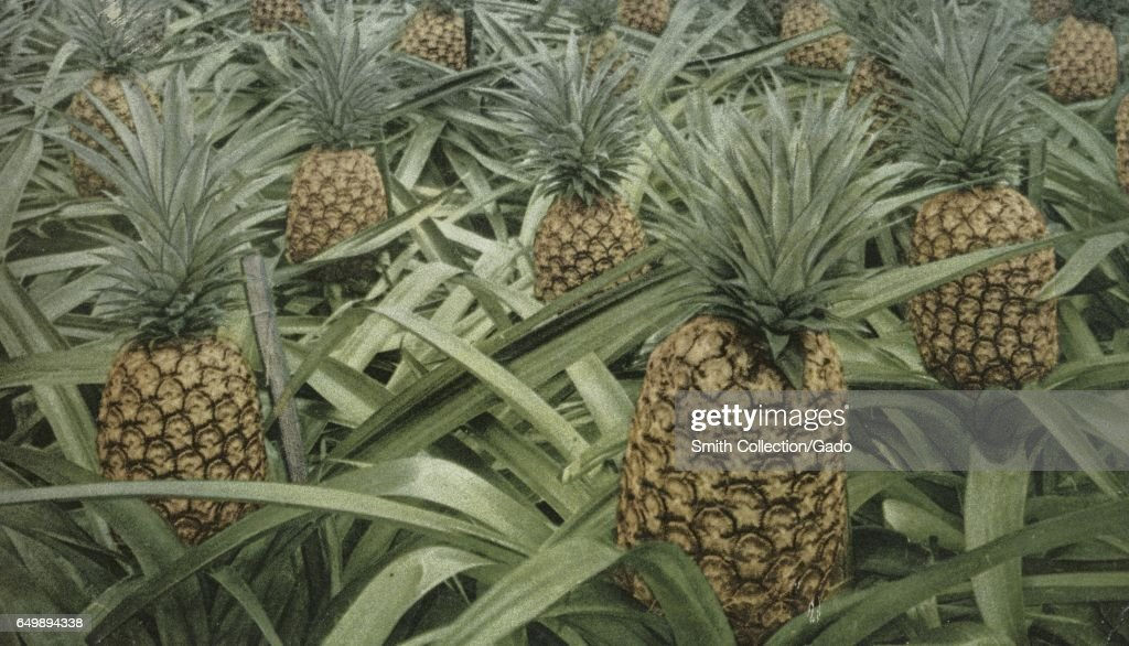 Pineapples On The Plant : News Photo