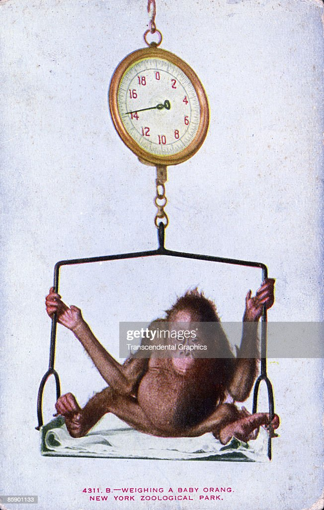 Postcard Showing A Baby Orangutan Being Weighed On An Old Fashioned Scale United States