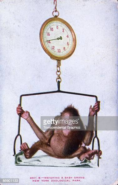 Postcard Showing A Baby Orangutan Being Weighed On An Old Fashioned News Photo Getty Images
