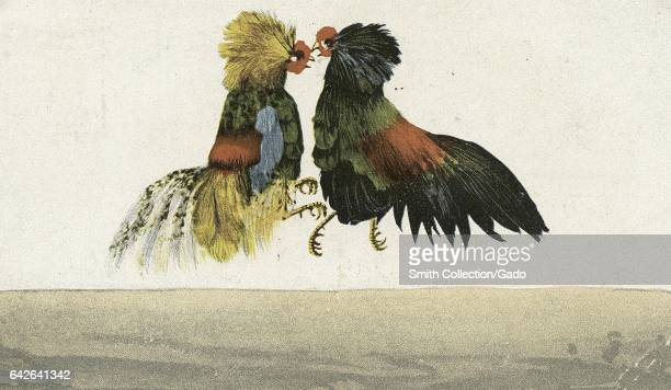 Postcard showing two roosters engaged in a cockfight 1914 From the New York Public Library