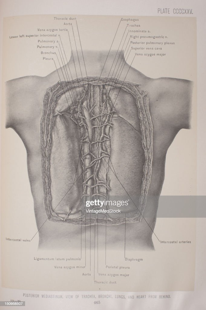 The Thorax From Behind Pictures Getty Images