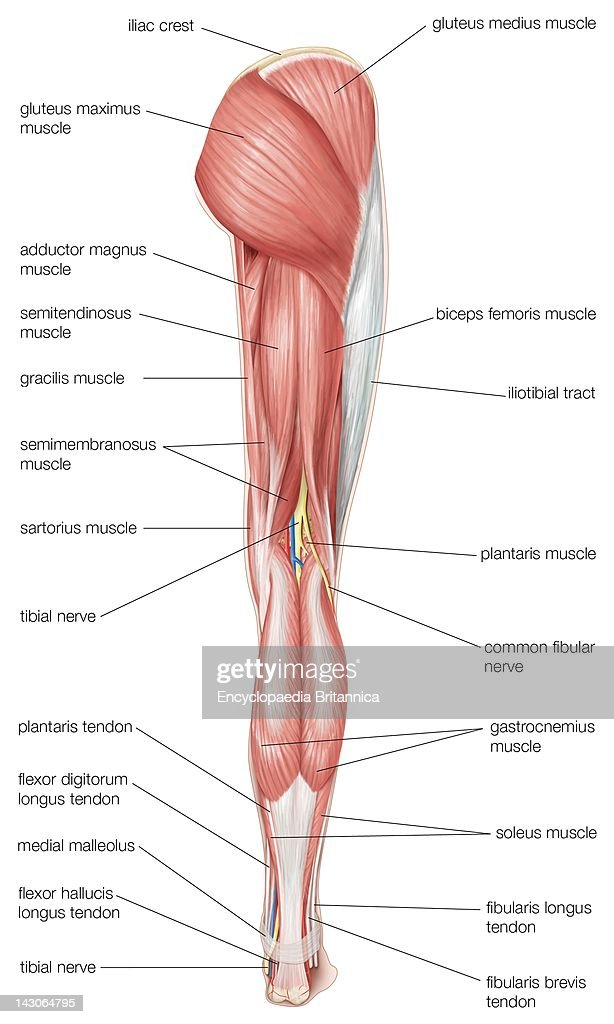Posterior View Of The Human Right Leg Showing The Muscles Of The