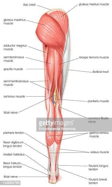 Posterior View Of The Human Right Leg Showing The Muscles Of The Hip Thigh And Lower Leg As Well As The Tibial Nerve
