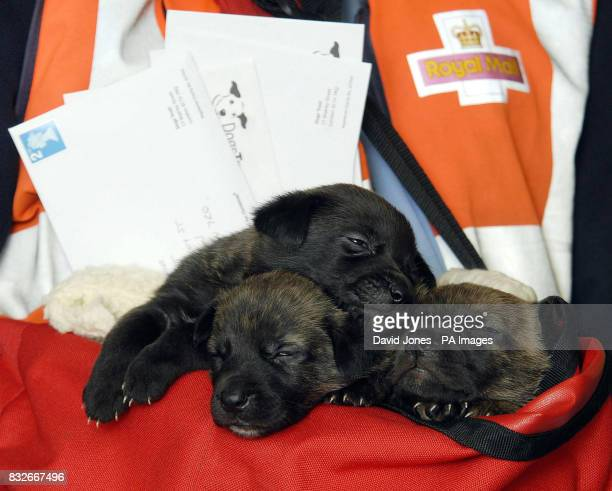 Postman Alan Oldfield with the abandoned pups he found while on his round in Balsall Common Warwickshire