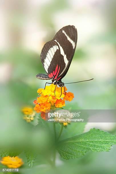 Postman Butterfly on a orange flower