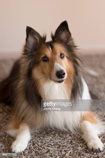 posture - collie stock pictures, royalty-free photos & images