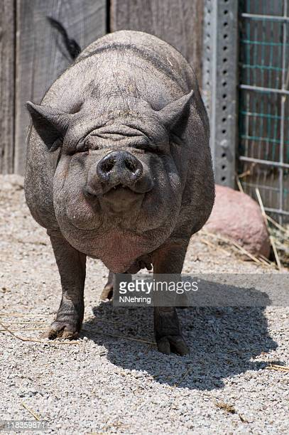 pot bellied pig - ugly pig stock pictures, royalty-free photos & images