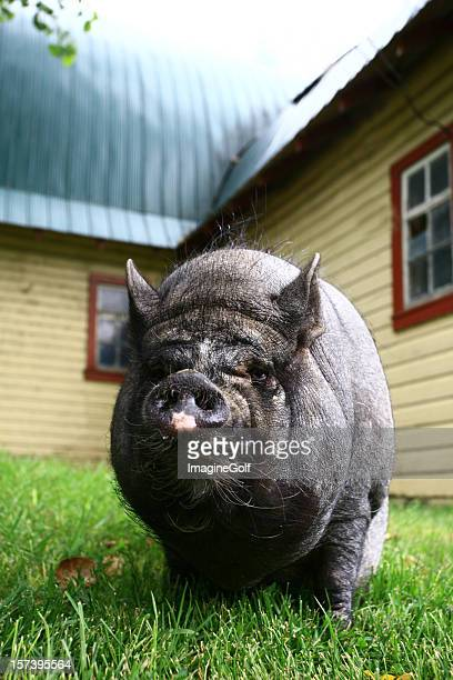 pot belly pig - ugly pig stock pictures, royalty-free photos & images