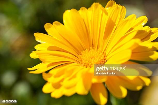 Pot Marigold -Calendula officinalis-, yellow flower, Saxony, Germany