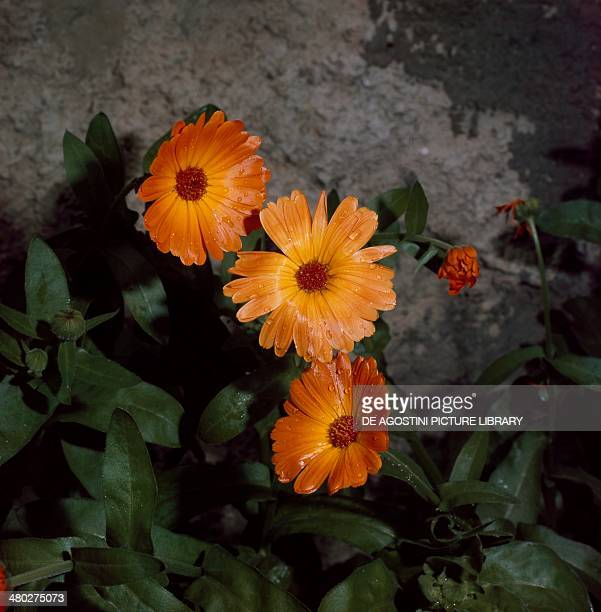 Pot marigold ruddles or common marigold Asteraceae