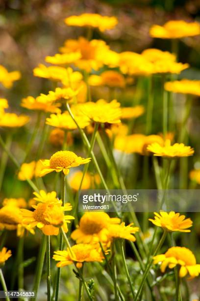 pot marigolds on a meadow - pot marigold stock pictures, royalty-free photos & images