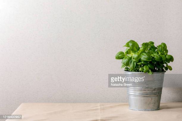 pot of fresh basil - basil stock pictures, royalty-free photos & images