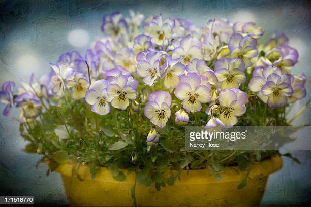 pot of pansies - bedford nova scotia stock pictures, royalty-free photos & images