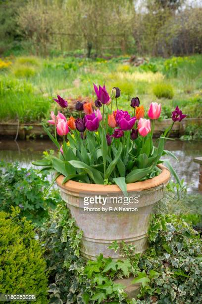 pot of tulips in a spring garden - terracotta stock pictures, royalty-free photos & images