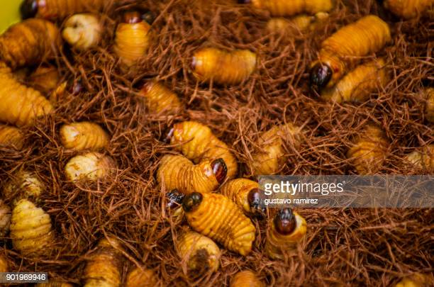 pot with edible worms - maggot stock photos and pictures