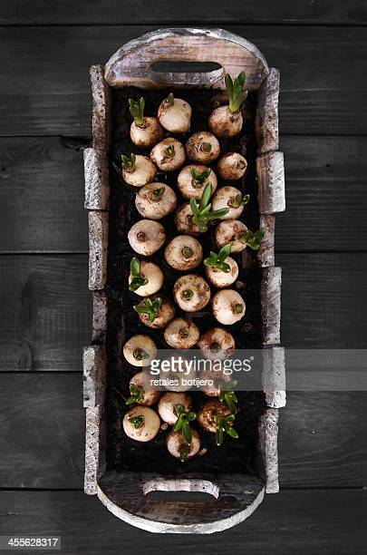 pot with muscari bulbs growing - muscari armeniacum stock pictures, royalty-free photos & images