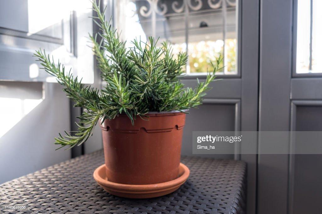 Pot with rosemary : Stock Photo