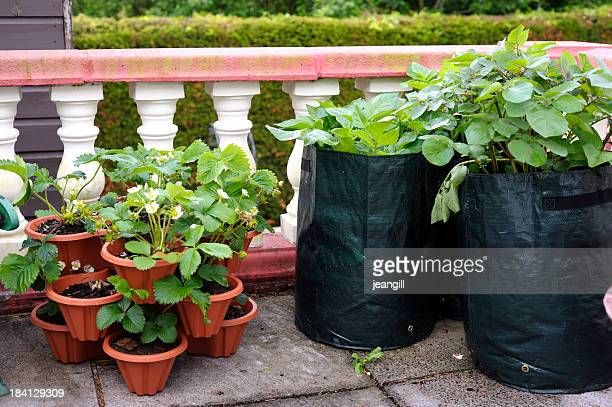 Potato and strawberry plants on terrace