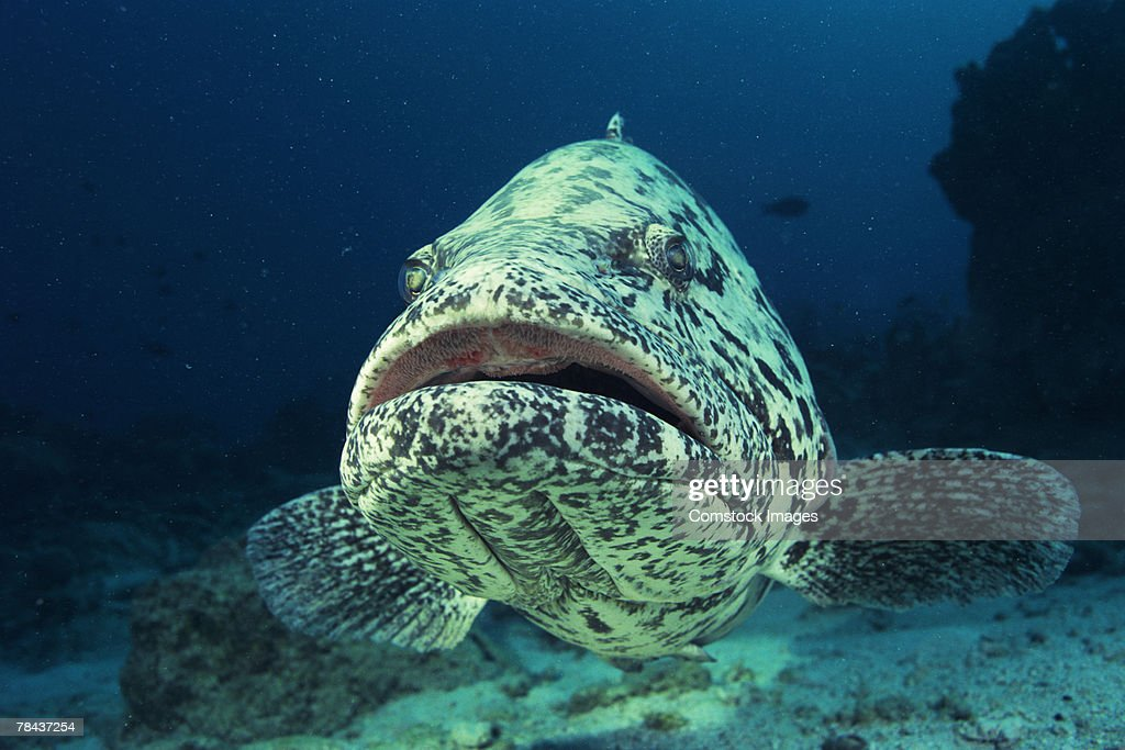 Potato cod , fish : Stockfoto