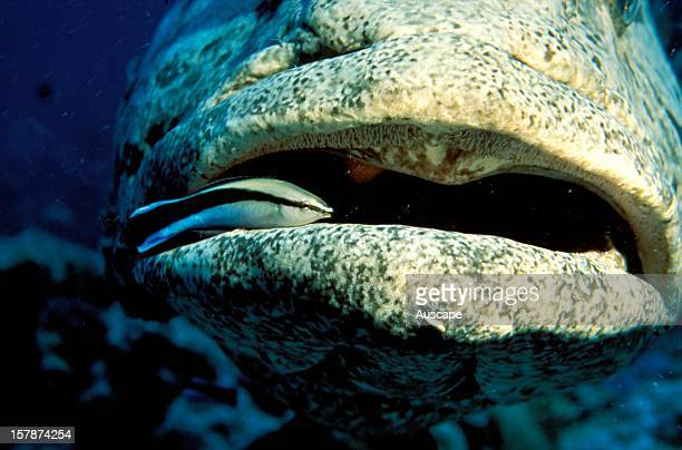 Potato cod having its mouth cleaned by a Cleaner wrasse Lizard Island National Park Great Barrier Reef Queensland Australia