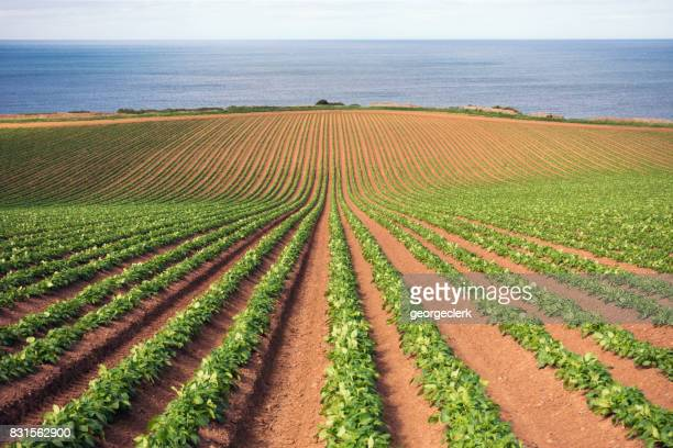 potato crop growth - raw potato stock pictures, royalty-free photos & images