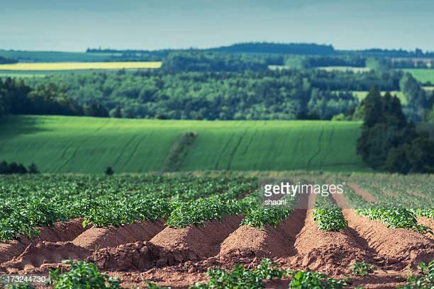 potato crop - raw potato stock pictures, royalty-free photos & images