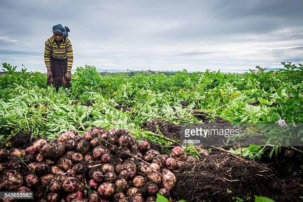 potato farmer harvesting - kenya bildbanksfoton och bilder