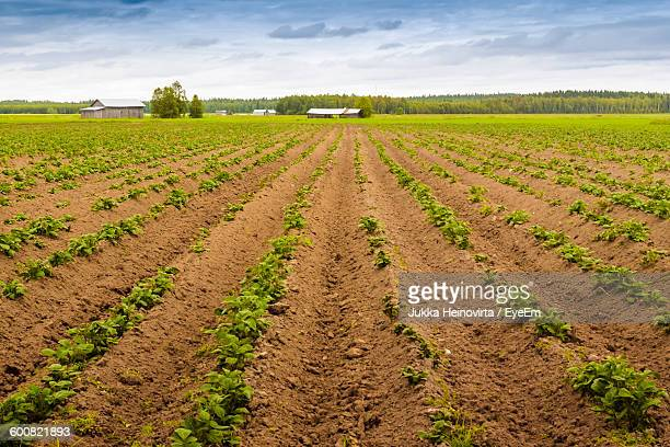 potato field against sky - heinovirta stock photos and pictures