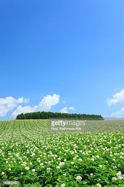 Potato field and blue sky with clouds, Hokkaido