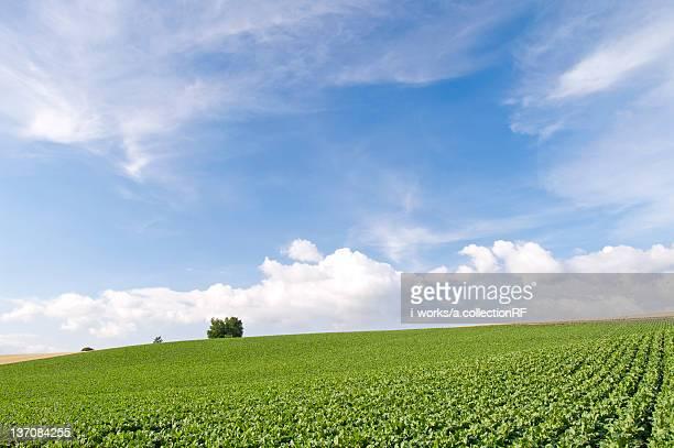 Potato field and hill, Hokkaido Prefecture, Japan