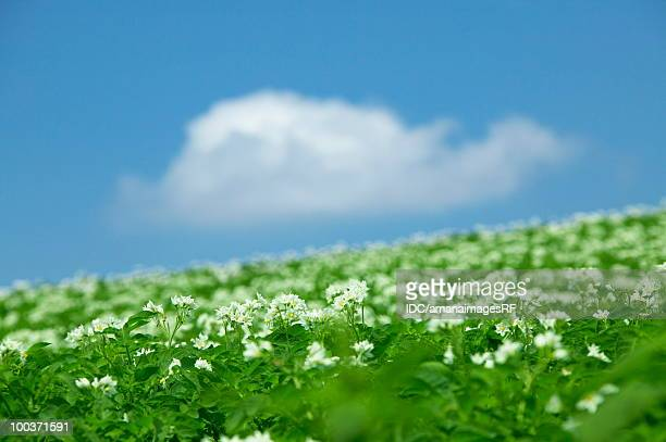 Potato field, close up, differential focus, Biei town, Hokkaido prefecture, Japan